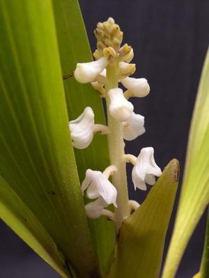 Eria hyacinthoides - 1
