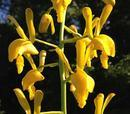 Eulophia angolensis - 1/3