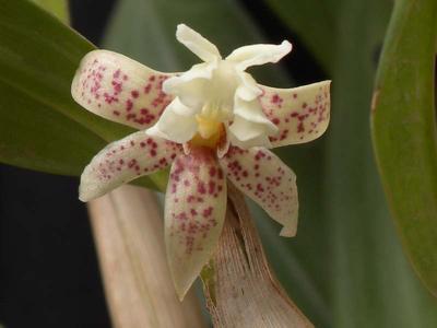 Flickingeria fimbriata - 1