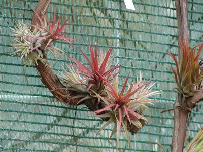 Tillandsia ionantha v. fuego - 1