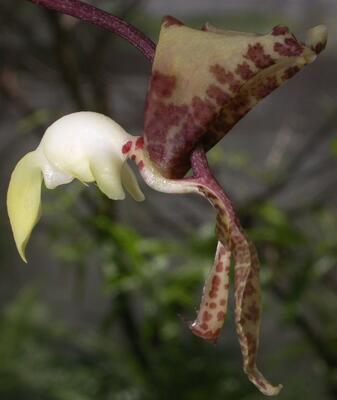 Gongora scaphephorus - 1