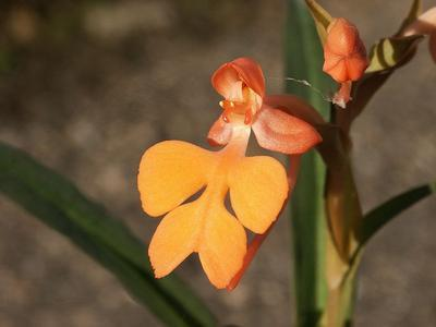 Habenaria rhodocheila - 1
