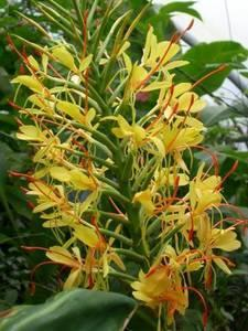 Hedychium gardnerianum - 1