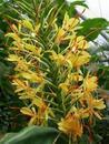 Hedychium gardnerianum - 1/3