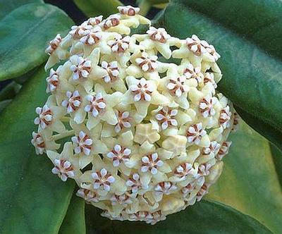 Hoya globulosa - 1