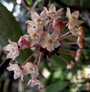 Hoya macrophylla - 1