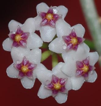 Hoya ovalifolia - 1