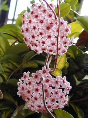 Hoya carnosa 'tricolor' - 1