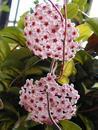 Hoya carnosa 'tricolor' - 1/2