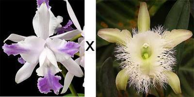 Cattleya intermedia v. coerulea 'Aquinii' x Brassavola digbyana - 1