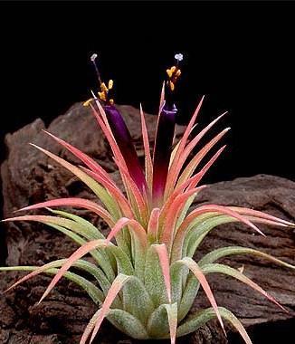 Tillandsia ionantha v. rubra - 1