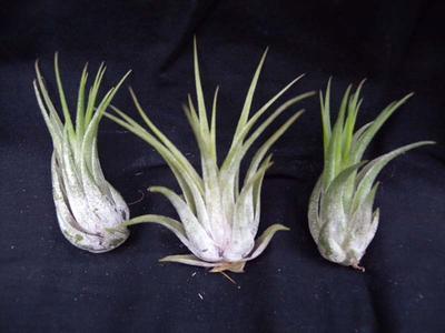 Tillandsia ionantha v. scaposa