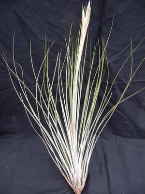 Tillandsia juncea (velká)