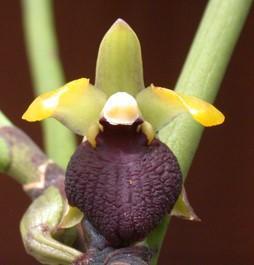 Luisia thailandica - 1
