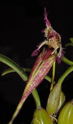 Bulbophyllum fascinator - 1