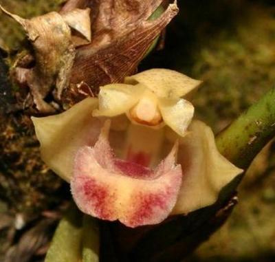 Maxillaria pachyphylla