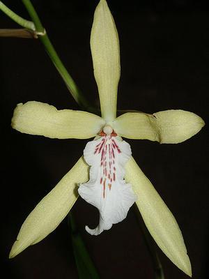Miltonia flavescens - 1