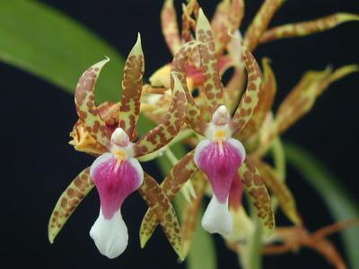 Miltonia schroederae - 1