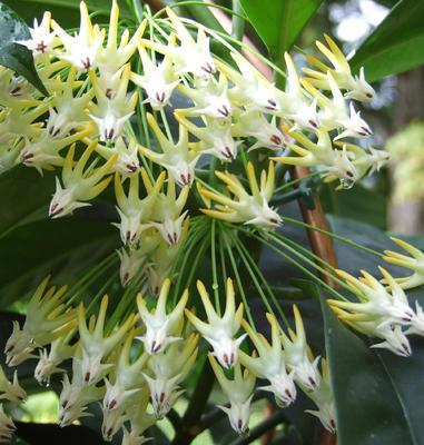 Hoya multiflora (Java)