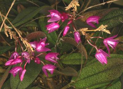Nageliella purpurea - 1