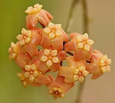 Hoya neo-ebudica - 1