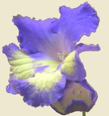 Streptocarpus 'Nona 5047'