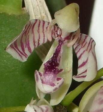 Oncidium waluewa - 1