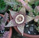 Orbea variegata - 1/2