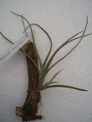 Tillandsia baileyi v. vivipara
