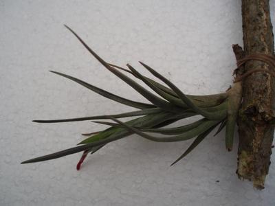 Tillandsia dorotheae (větší) - 1