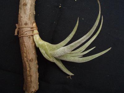 Tillandsia schiedeana var. glabrior