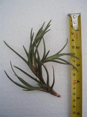 Tillandsia albertiana (větší)