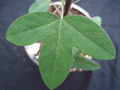 Passiflora 'Purple Haze' - 1