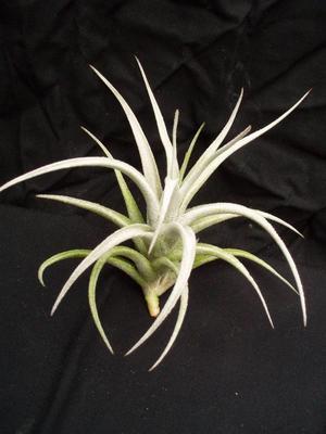 Tillandsia mitlaensis v. tulensis - 1