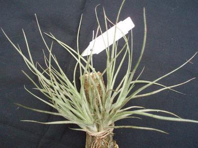 Tillandsia vestita (větší trs) - 1