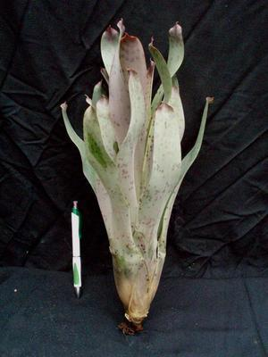Vriesea guttata - 1