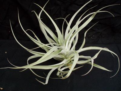 Tillandsia cacticola f. stříbřité úzké listy - 1