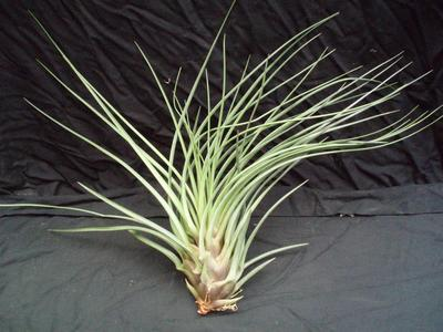 Tillandsia crista-gallii (velká) - 1