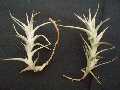 Tillandsia albida (forma dlouhá)