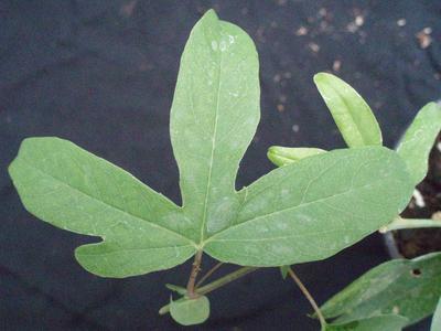 Passiflora 'Constance Elliot' - 1