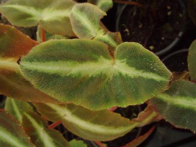 Begonia listada - 1