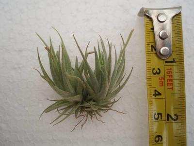 Tillandsia loliacea (trs)