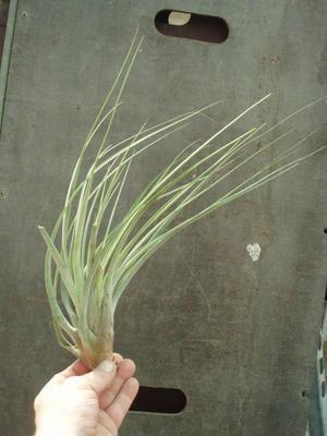 Tillandsia fasciculata (velká) - 1