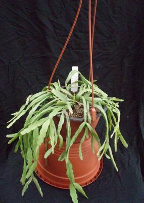 Rhipsalis micrantha - velká rostlina
