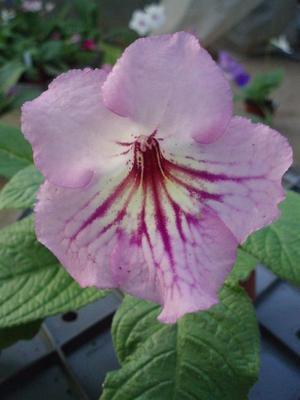 Streptocarpus 'růžová s žilkami' hybrid - 1