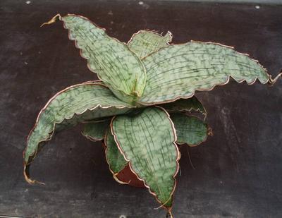 Sansevieria kirkii cv. Silver Blue - 1