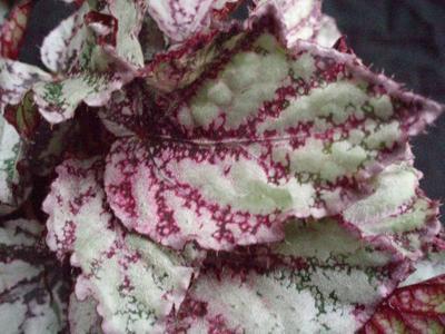 Begonia 'Marble' - 1