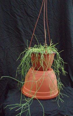 Rhipsalis cassutha - velká rostlina