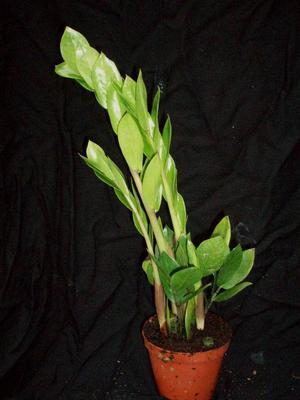 Zamioculcas zamiifolia - 1