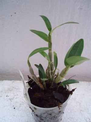 Dendrobium Chian-Tzy Aurora 'CT-Jasper' - 1